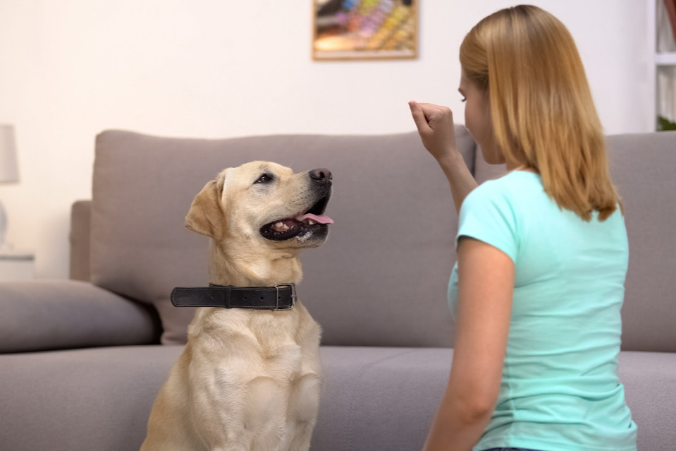 Choosing a trainer who can work with you and your Labrador