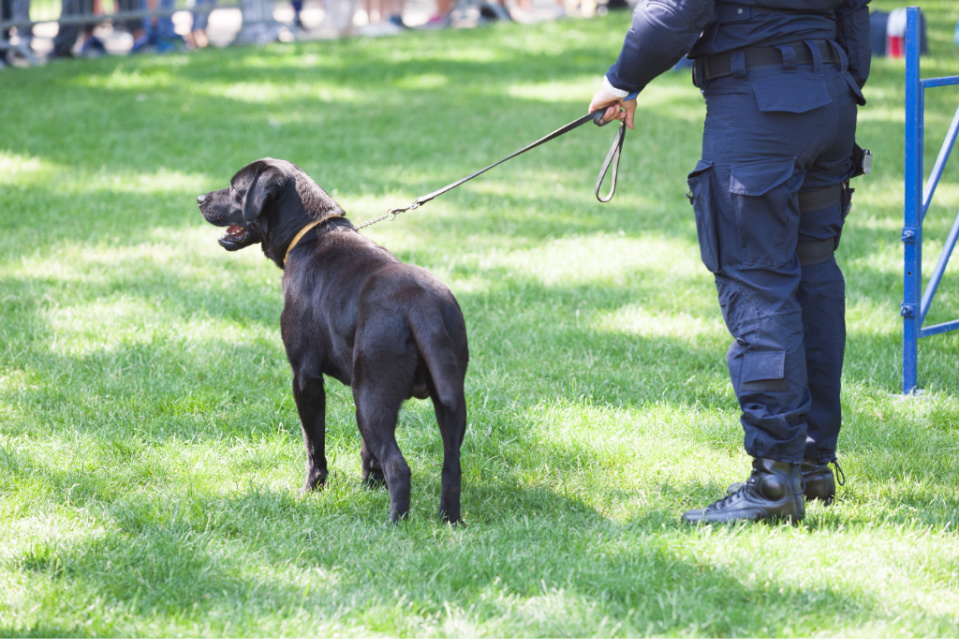do you require a professional trainer to train your labrador to attack on command?
